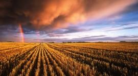 4K Grain Field Desktop Wallpaper