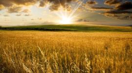 4K Grain Field Desktop Wallpaper For PC