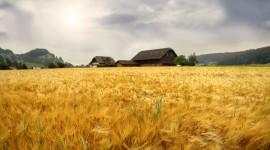 4K Grain Field Desktop Wallpaper HD
