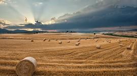 4K Grain Field Photo Free#1