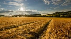 4K Grain Field Wallpaper Background