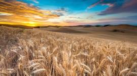 4K Grain Field Wallpaper Download