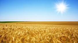 4K Grain Field Wallpaper Download Free
