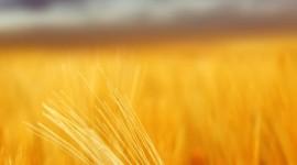 4K Grain Field Wallpaper For Mobile