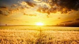 4K Grain Field Wallpaper Free