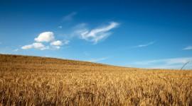 4K Grain Field Wallpaper Full HD