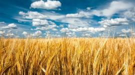 4K Grain Field Wallpaper HQ