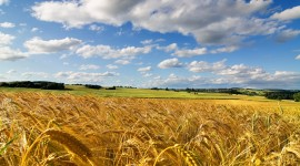 4K Grain Field Wallpaper HQ#1