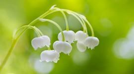 4K Lilies Of The Valley Desktop Wallpaper HD