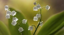 4K Lilies Of The Valley Wallpaper For Desktop