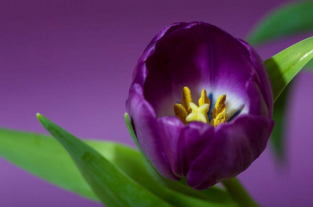 4k Purple Tulips Wallpapers High Quality Download Free