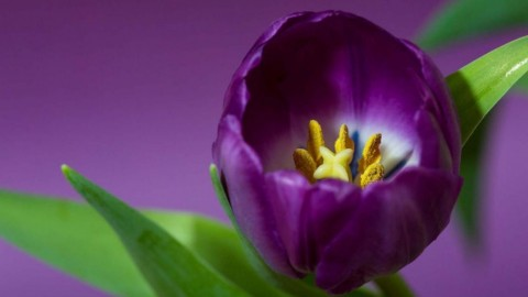 4K Purple Tulips wallpapers high quality