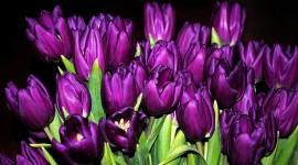 4K Purple Tulips Photo