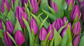 4K Purple Tulips Photo#1
