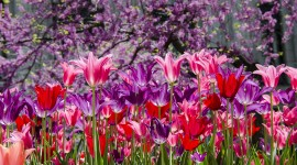 4K Purple Tulips Wallpaper Download