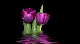 4K Purple Tulips Wallpaper For Desktop