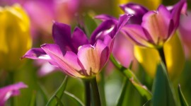 4K Purple Tulips Wallpaper Gallery