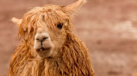Alpaca Wallpaper Download Free