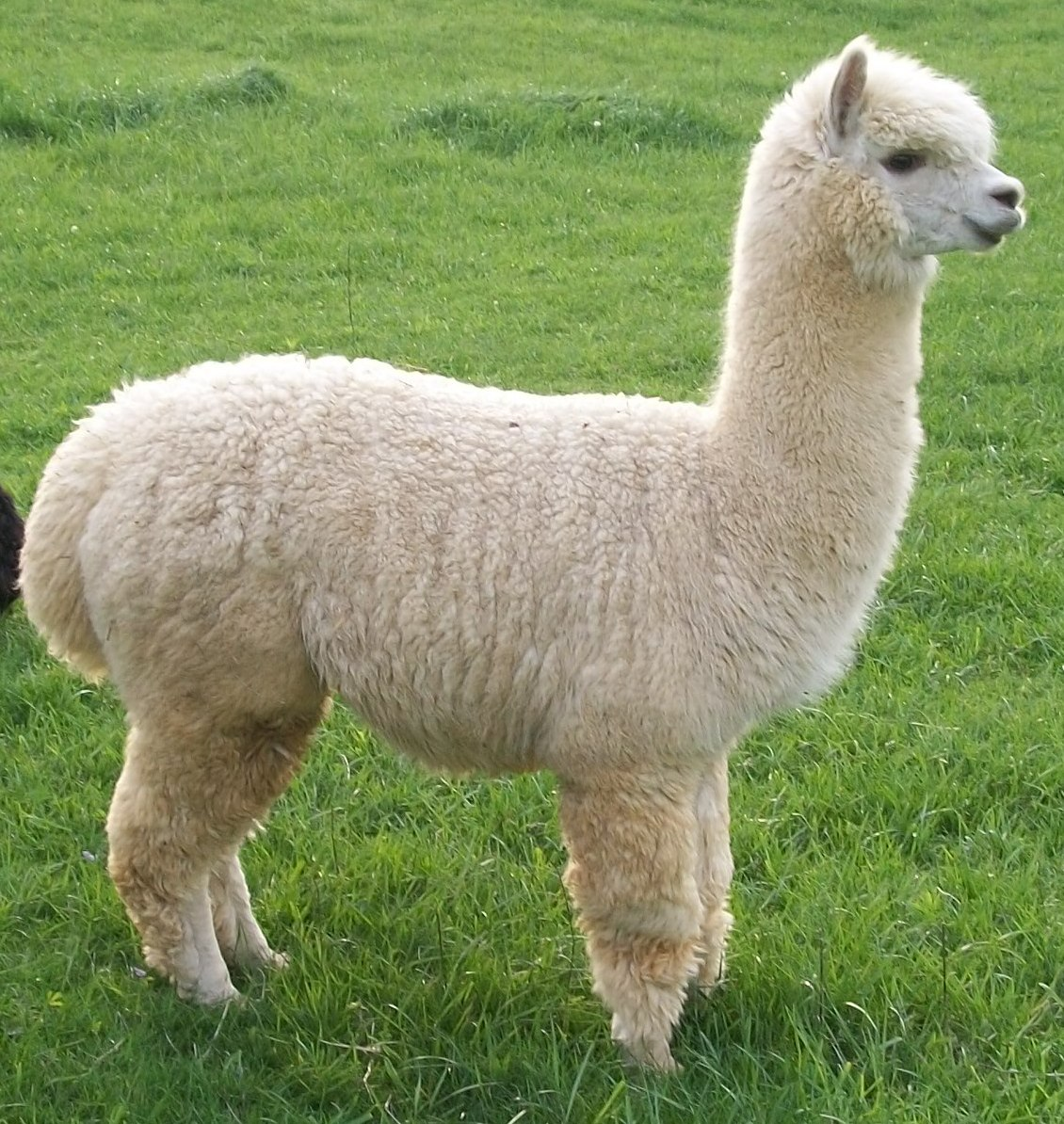 Alpaca Wallpapers High Quality Download Free