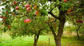 Apple Tree Desktop Wallpaper