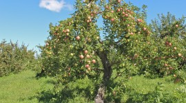 Apple Tree High Quality Wallpaper