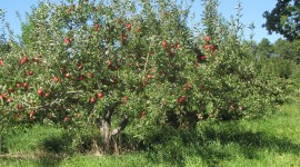 Apple Tree Wallpaper