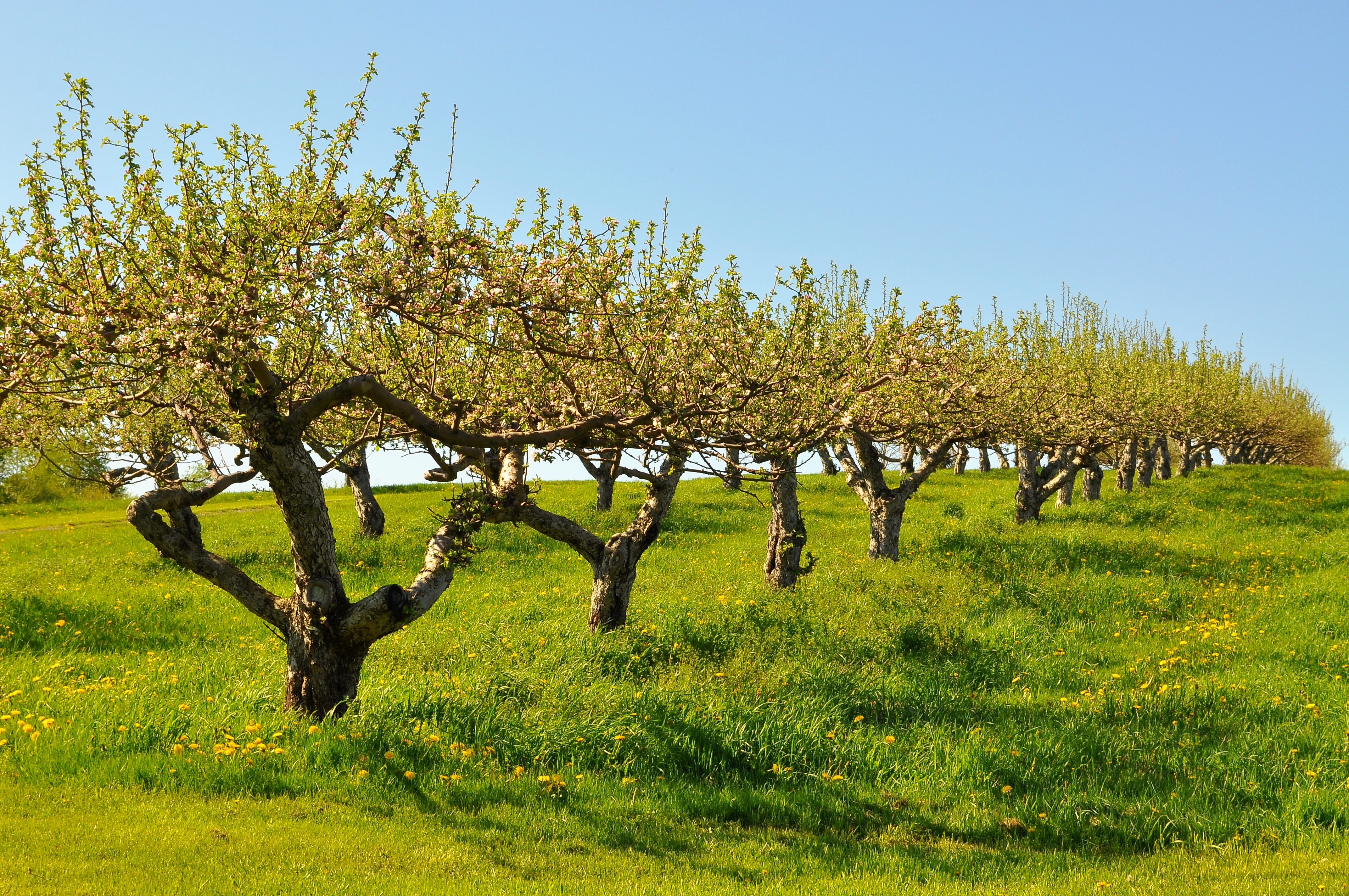 Apple Tree Wallpapers High Quality Download Free