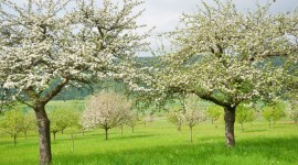Apple Tree Wallpaper For Desktop