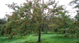 Apple Tree Wallpaper Gallery