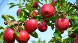 Apple Tree Wallpaper High Definition