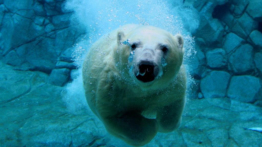 Bear Swim wallpapers HD