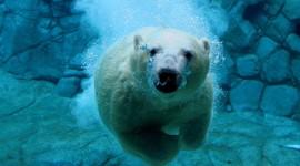 Bear Swim Best Wallpaper