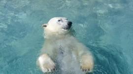 Bear Swim Desktop Wallpaper