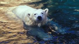Bear Swim Wallpaper