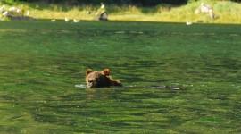 Bear Swim Wallpaper Download