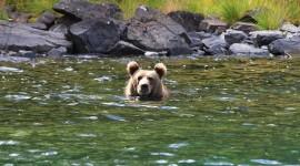 Bear Swim Wallpaper For Desktop