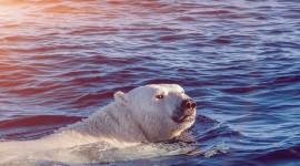 Bear Swim Wallpaper For IPhone