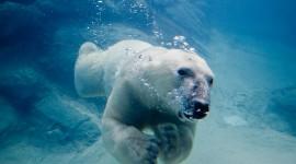 Bear Swim Wallpaper Full HD