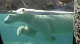 Bear Swim Wallpaper Gallery