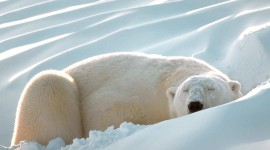 Bears Sleep Wallpaper Download