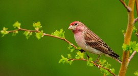 Birds On Branch Wallpaper For Desktop