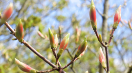 Buds In The Trees Wallpaper High Definition