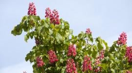 Chestnut Flower Wallpaper
