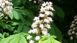 Chestnut Flower Wallpaper Download