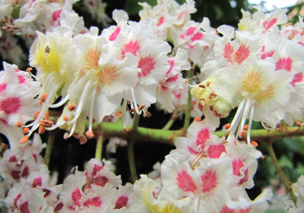 Chestnut Flower wallpapers HD