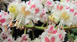 Chestnut Flower Wallpaper Download Free