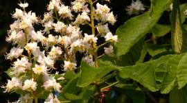Chestnut Flower Wallpaper For IPhone