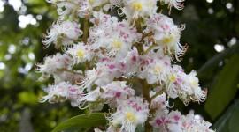 Chestnut Flower Wallpaper For IPhone Free