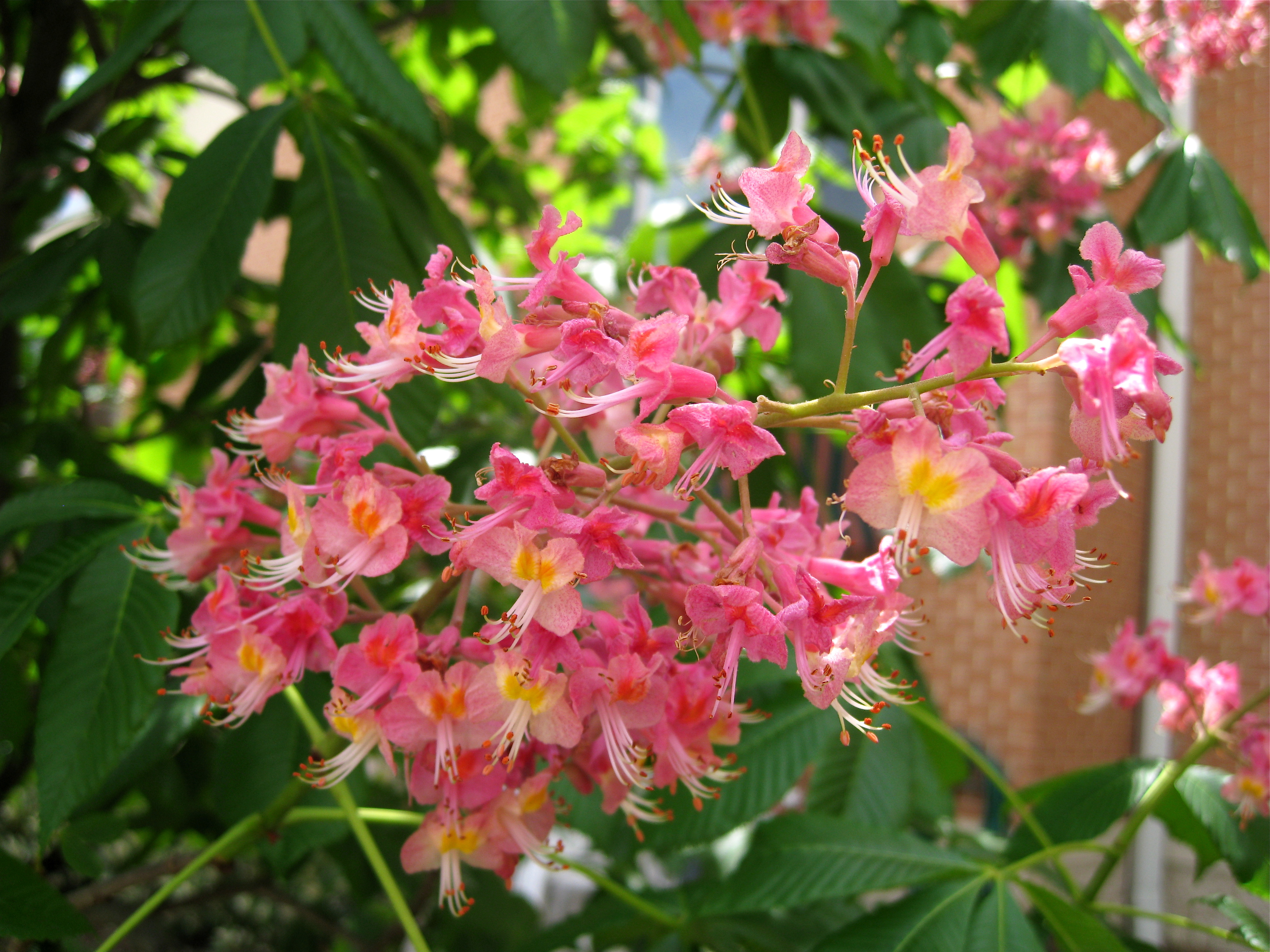 Chestnut flower wallpapers high quality download free mightylinksfo