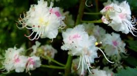 Chestnut Flower Wallpaper HD